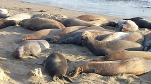 Elephant Seals, San Simeon CA