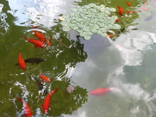 The Koi Pond in the Courtyard