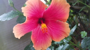 Hibiscus, Myriad Botanical Garden & Conservatory, Oklahoma City OK